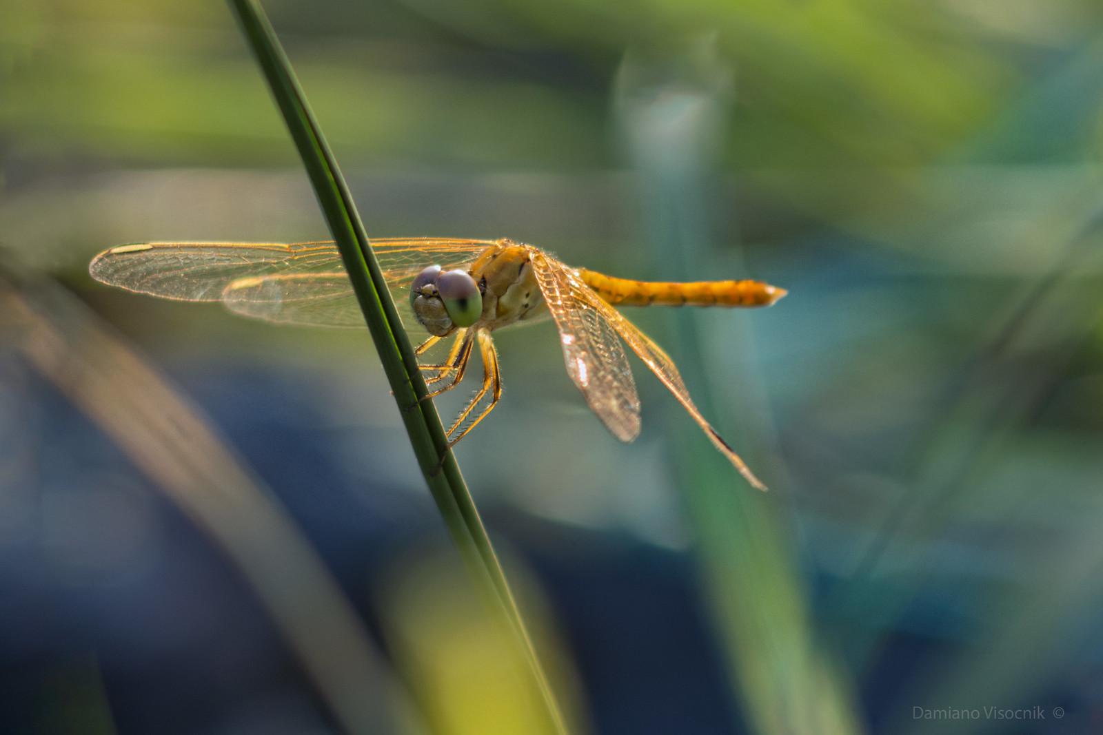 Sunset dragonfly_c