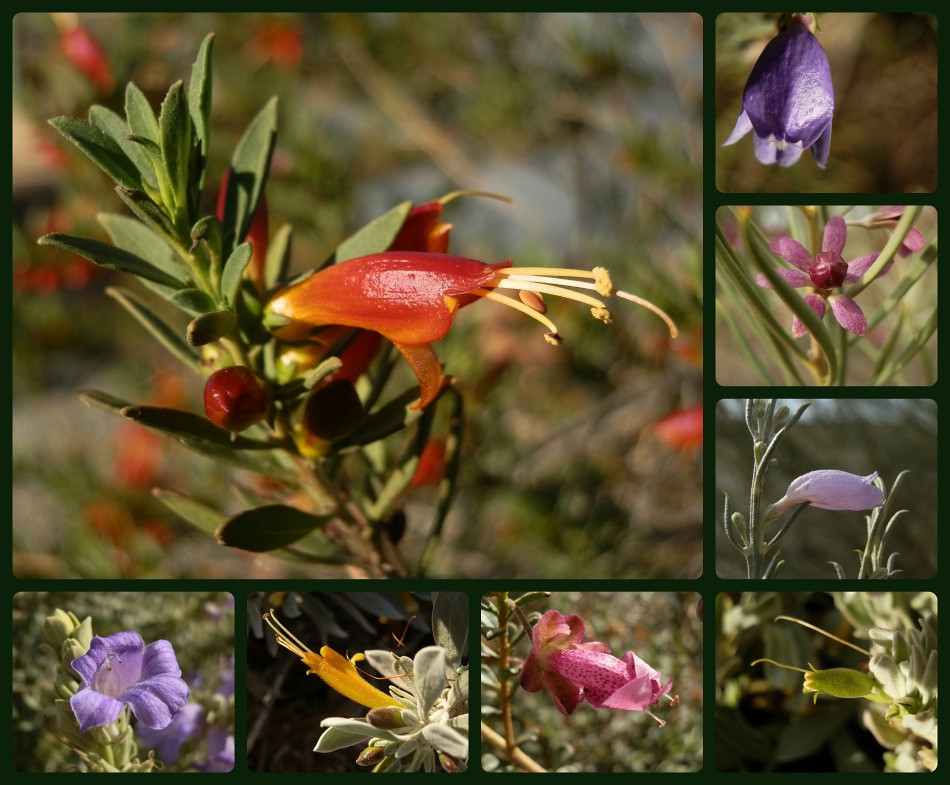 Eremophila from Port Augusta Region