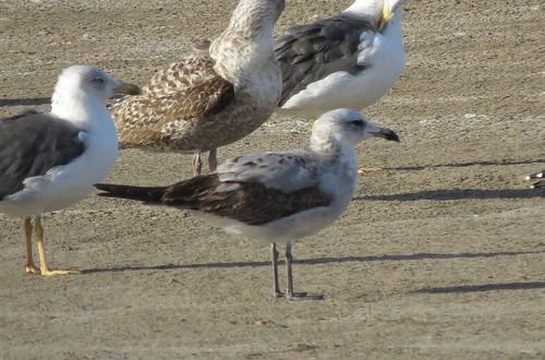 Audouin's Gull Ichthyaetus audouinii La Charca, Maspalomas, Gran Canaria December 2016