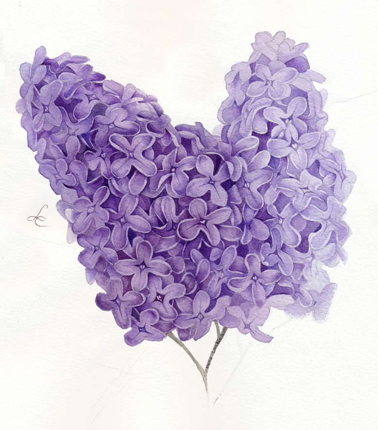 Lilac_780