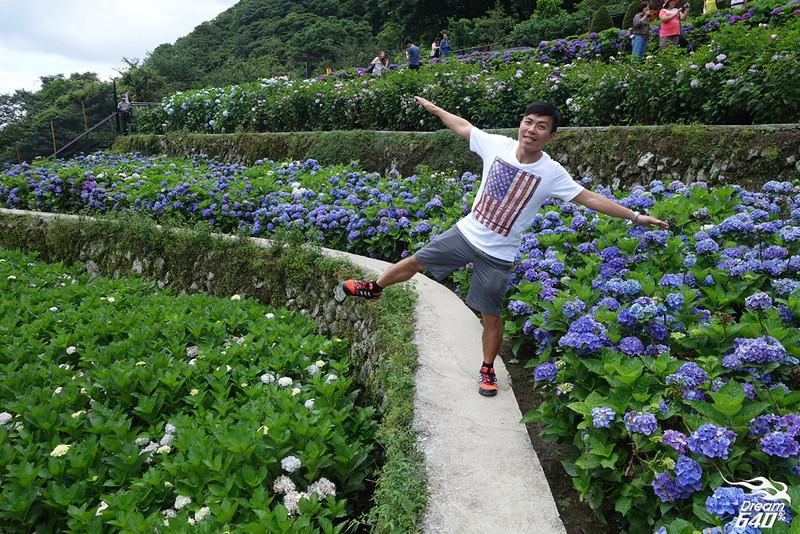 陽明山竹子湖繡球花08