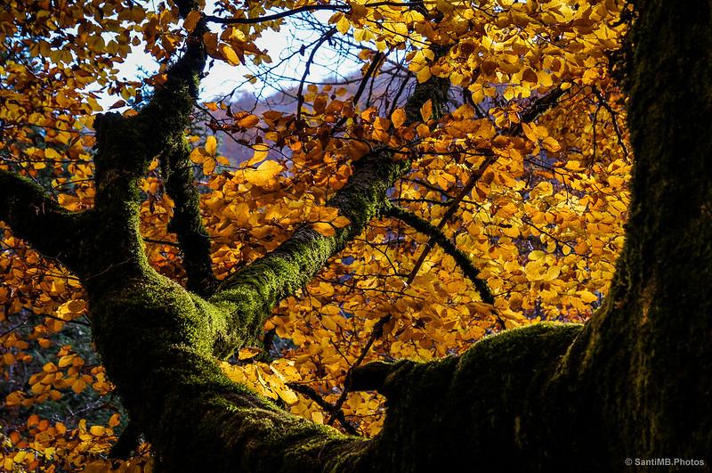 Verde musgo y dorado de hojas.
