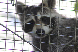 racoon in a trap closeup | by Soapbox Girl (Carol Anne)
