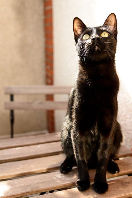 Selva, gatita Pantera guapa, estilizada y divertida esterilizada, nacida en Mayo´16, en adopción. Valencia. ADOPTADA. 32172565223_91252301d6_z