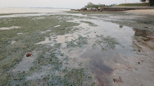 Changi seagrass meadows after oil spill in Johor Strait, Jan 2017