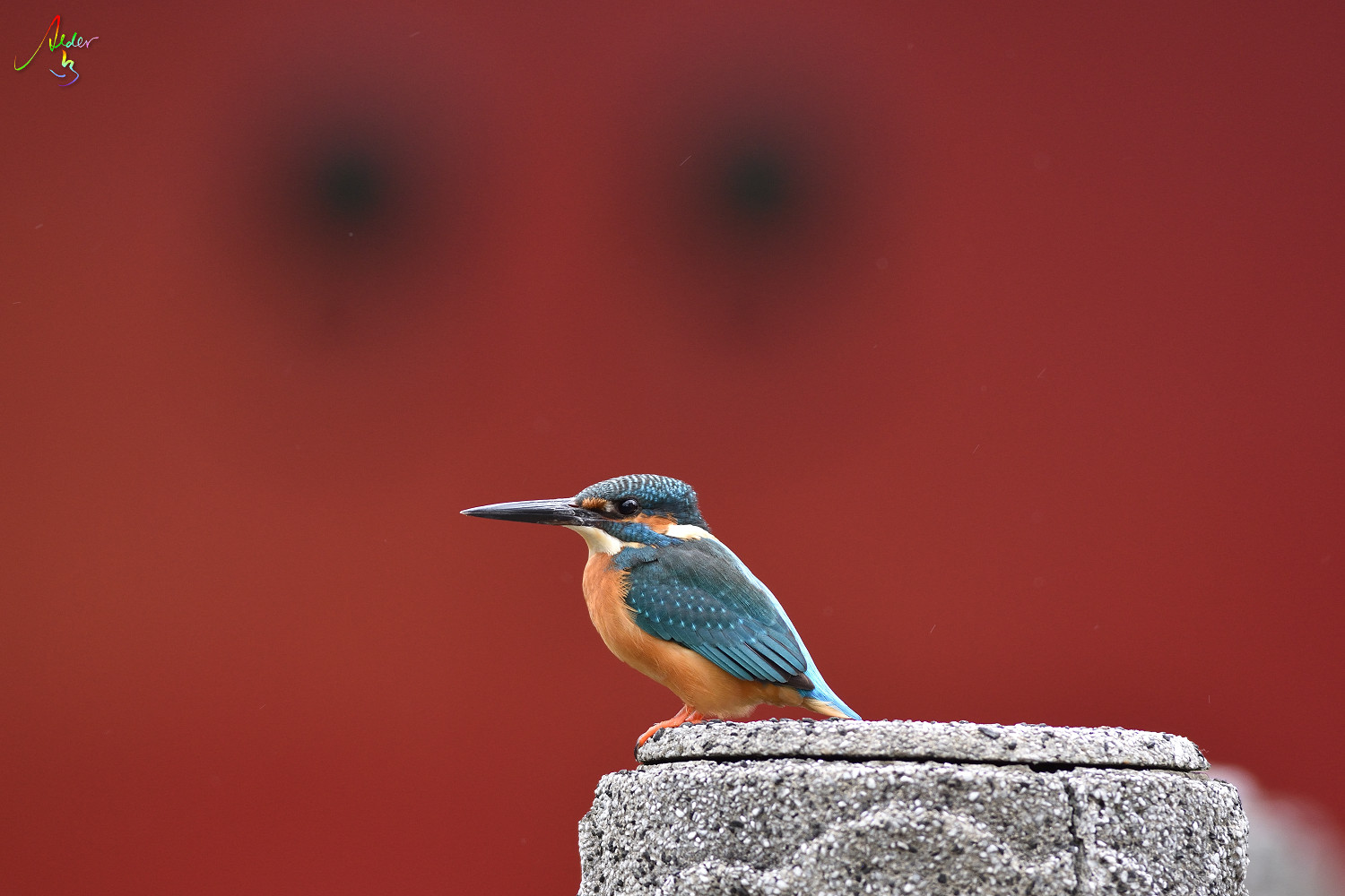 Common_Kingfisher_9184