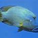 Napoleon Fish (Red Sea)