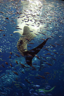 Whale Shark feeding.jpg | by OrigamiKid