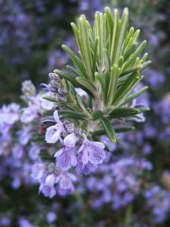 Flowering Rosemary | by geishaboy500