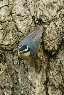Red-breasted Nuthatch (on oak bark) | by William  Dalton