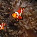 False Clown Anemone fishes