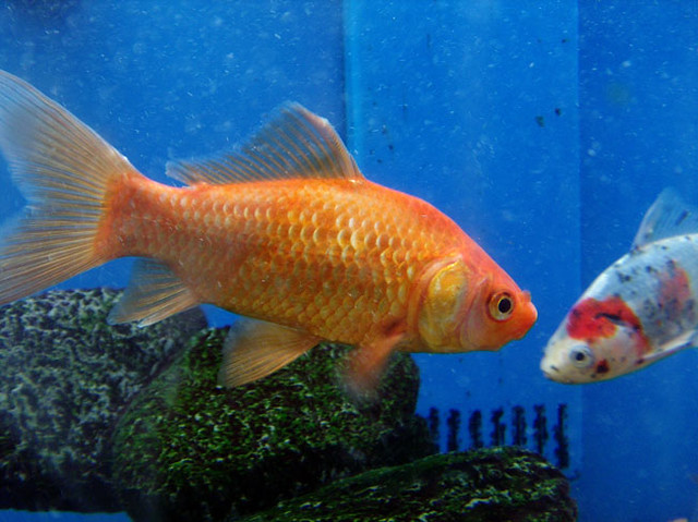 Goldfish koi these were fish at walmart everytime i for Whiting fish at walmart