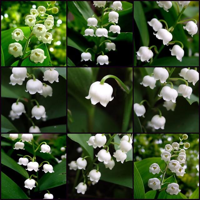 زهور ليليا الوادي Lily of the Valley 145248681_8e1bbe96eb_z