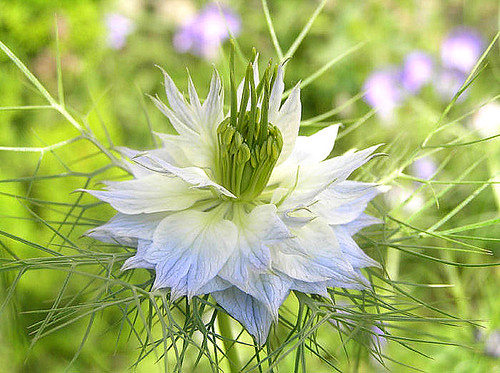 love in a mist nigella damascena jungfer im gr nen schwa flickr. Black Bedroom Furniture Sets. Home Design Ideas