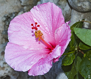 hibiscus, pink, wet | by MerlinsMan