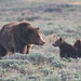 Grizzly and Cubs at Yellowstone