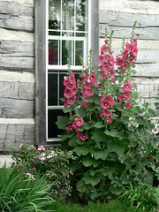 Hollyhock shed | by wendymerle
