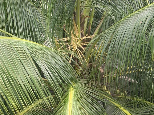 The Most Productive Tree All Parts Of The Coconut Palm