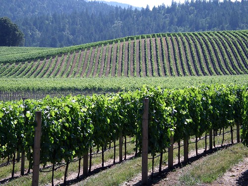 Anderson Valley vines | by tsc_traveler