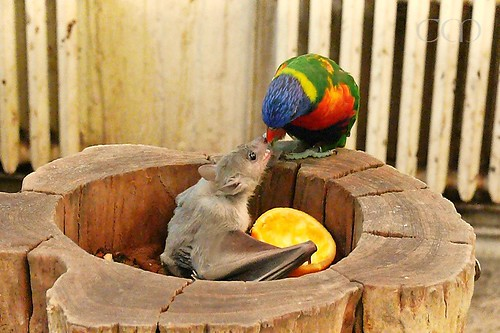 My hubby made these incredible pics of a fruit bat and a Lory!