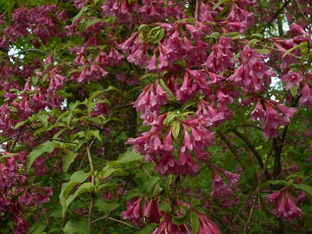 Kevätkotakuusaman (Weigela praecox) kukintaa 6.6.2015 Kaisaniemen kasvitieteellinen puutarha Helsinki