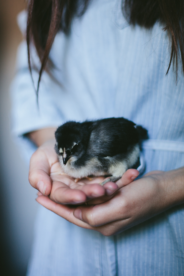My Chickens | Gertrude 1 week old | by Eva Kosmas Flores of Adventures in Cooking