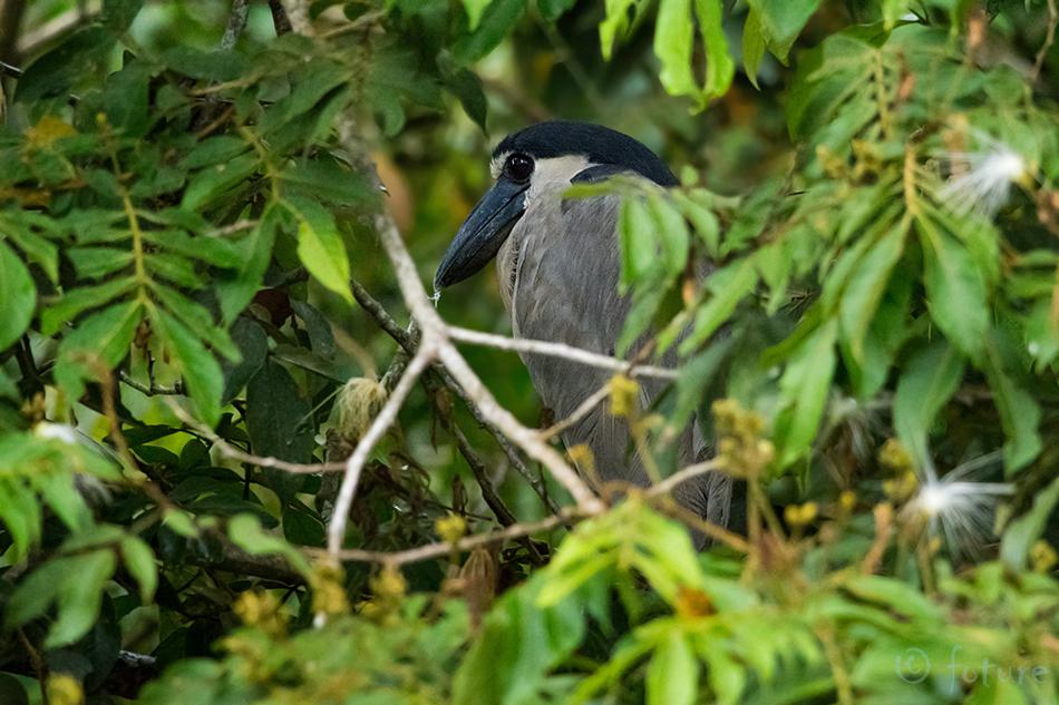 Lodinokk, haigur, Cochlearius, cochlearia, Boat, billed, Heron, Boatbill, Caño, Negro, Wildlife, Refuge, Costa Rica, Kaido Rummel
