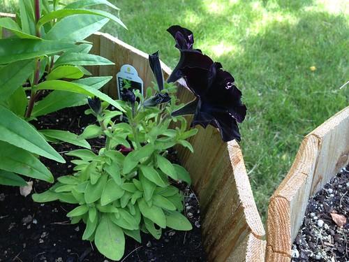 Emma's black petunia