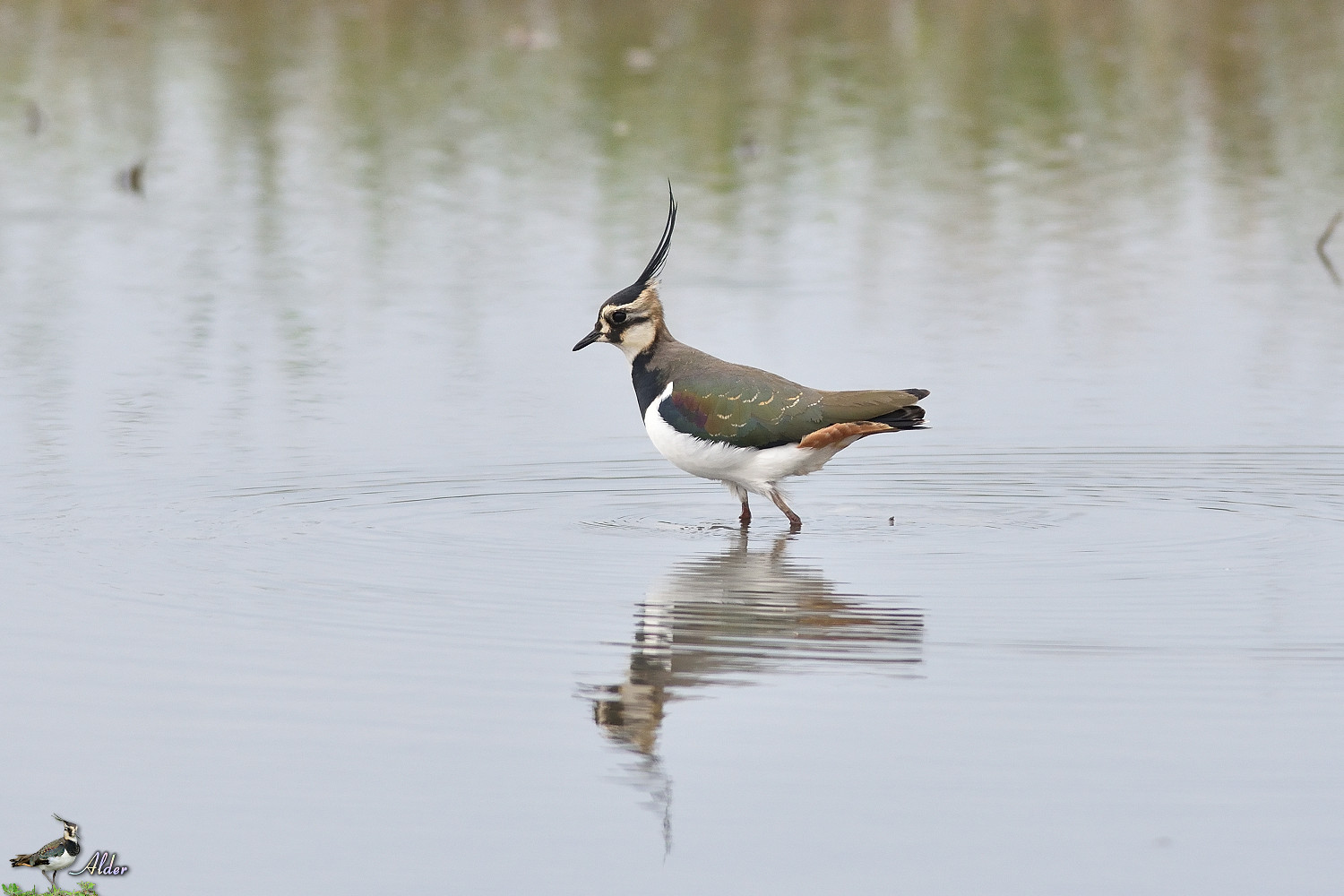 Northern_Lapwing_4888