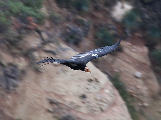 calforina condor in flight