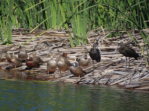 Estero San Jose cinnamon teal, blue-winged teal, northern shoveler, white-faced ibis]