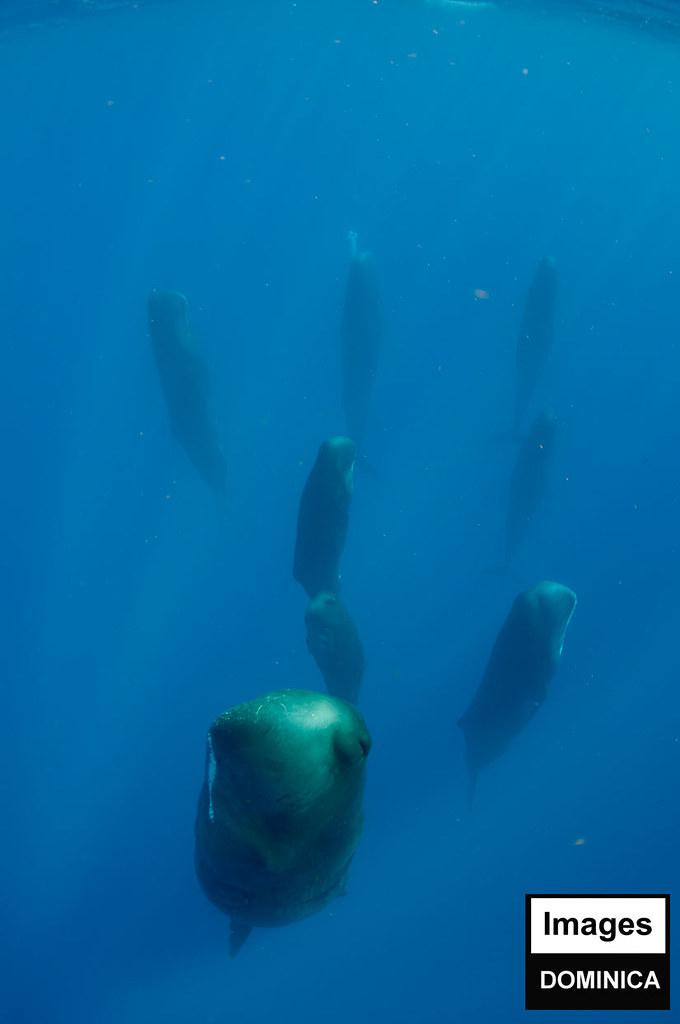 Habitat of the pygmy sperm whale sluty porn stars