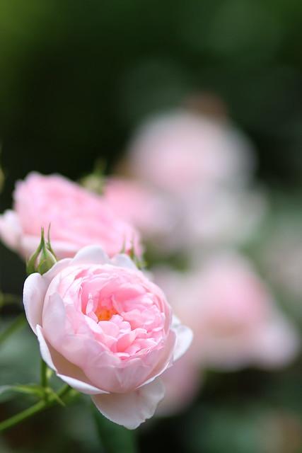 Rose:セプタード・アイル