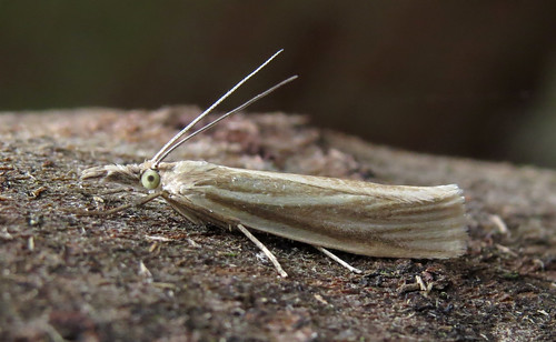 Crambus perlella Tophill Low NR, East Yorkshire June 2015
