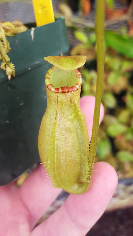 Nepenthes sumatrana
