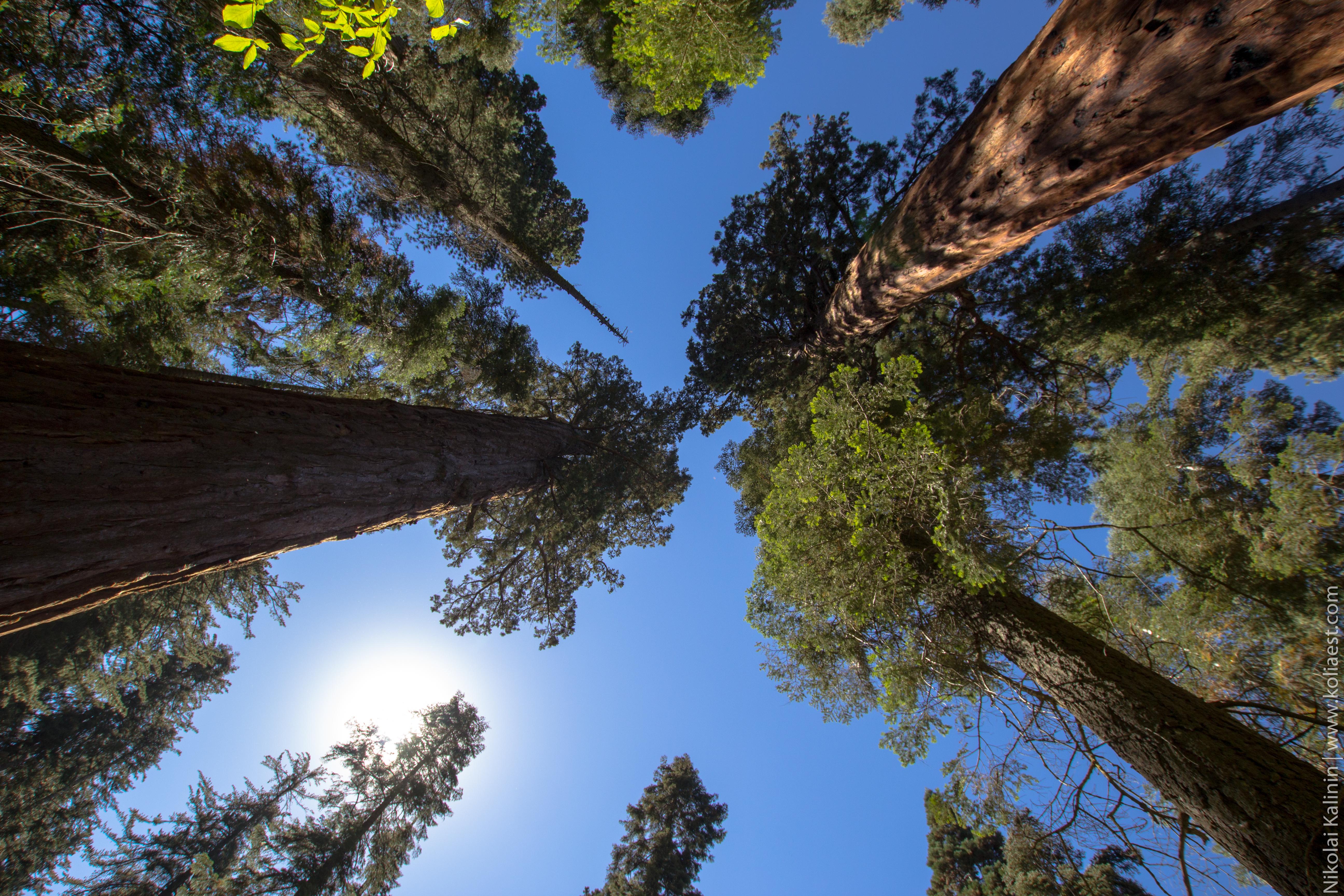 Sequoia-71