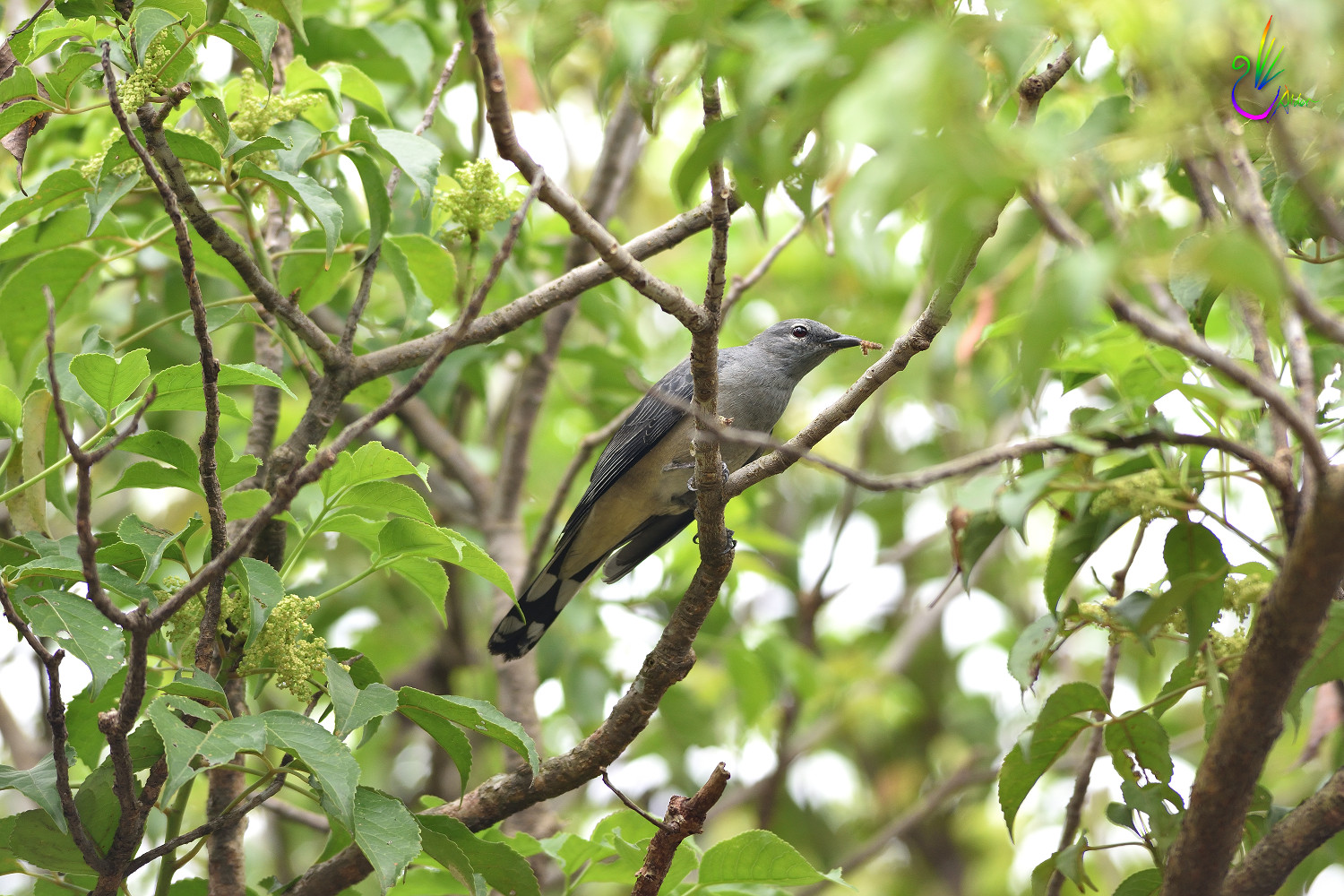 Black-winged_Cuckoo-shrike_8866