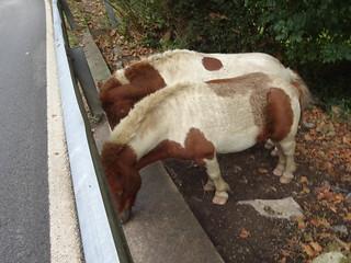 Short-Legged Ponies