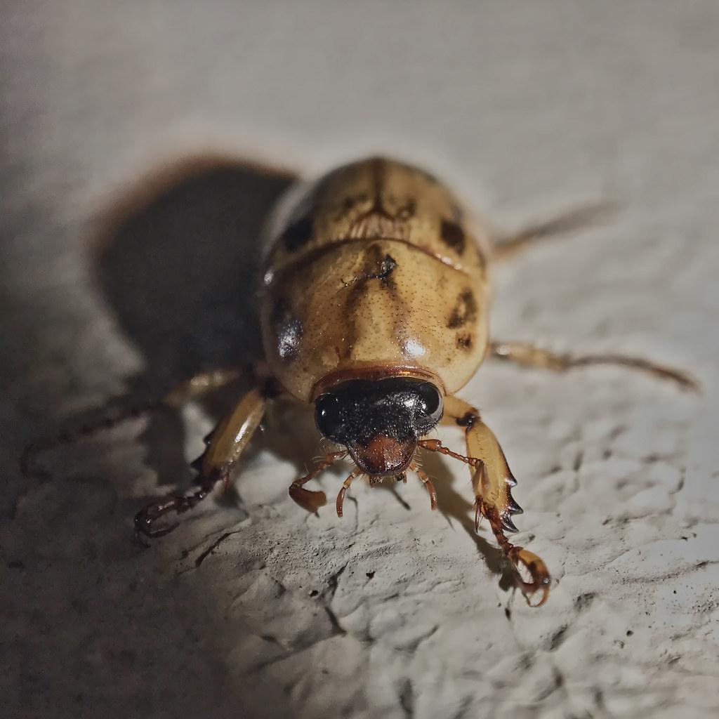 golden brown tan scarab beetle scarabaeidae species ba flickr