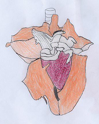 disegno di cuore di capretto