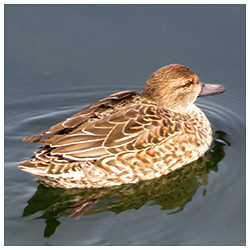 Eurasian teal. Female