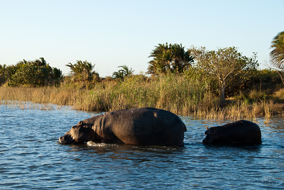 Jõehobu, Hippopotamus, amphibius, capensis, Hippo, iSimangaliso, Wetland, Park, South, Africa, Kaido Rummel