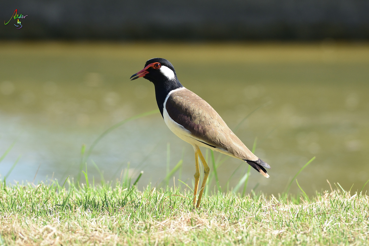Red-wattled_Lapwing_8786