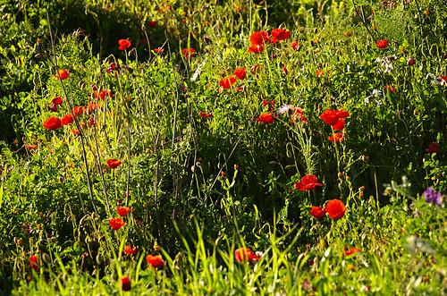 Poppy field, Santiago del Teide, Tenerife