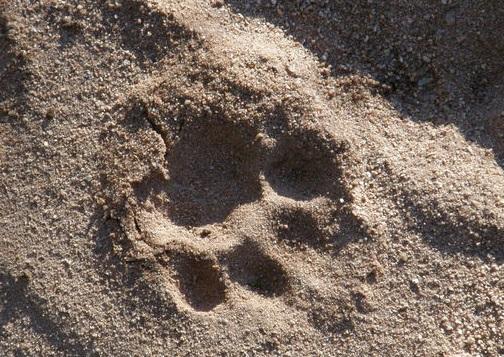 La huella fresca de un leopardo