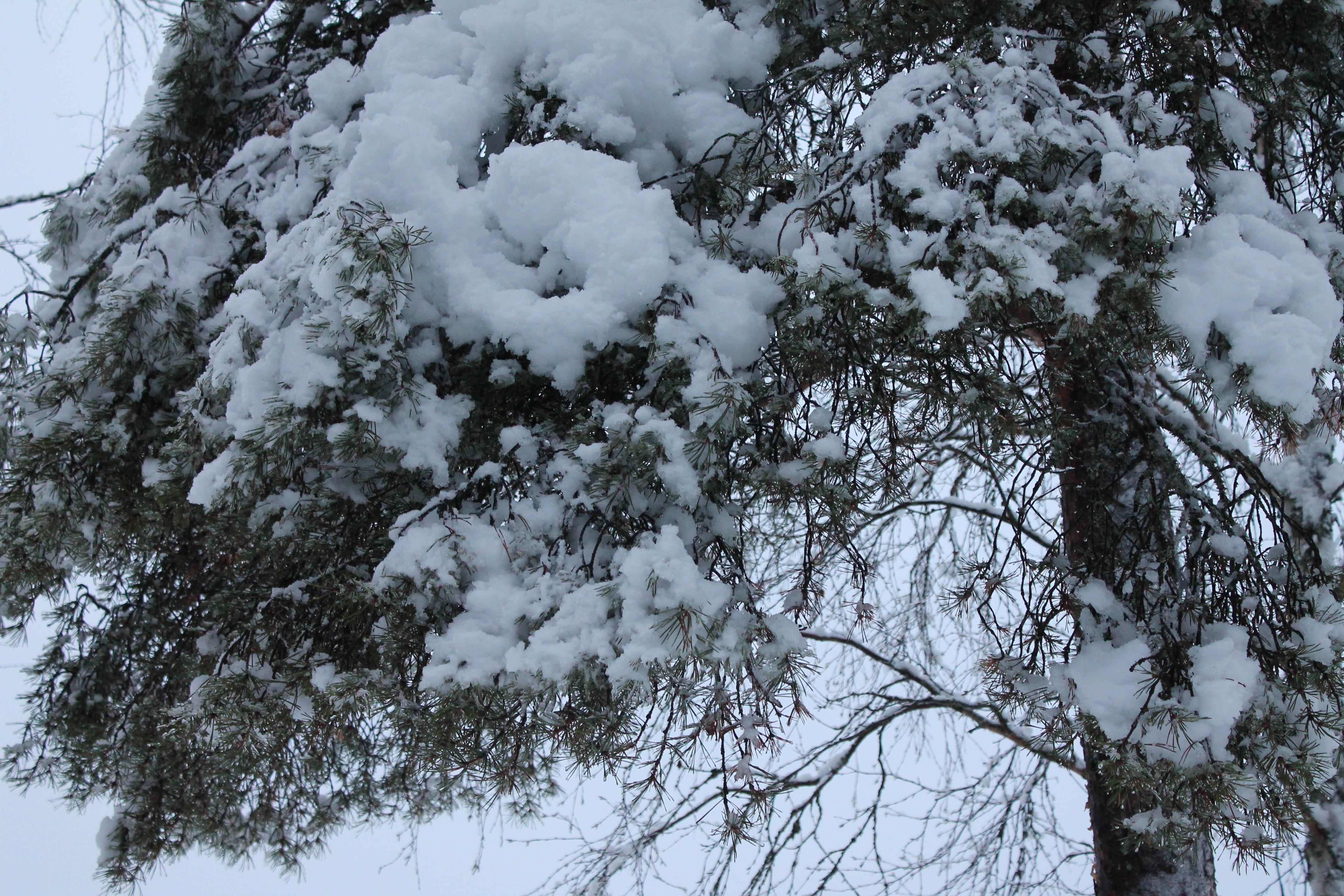 puistolampi puu