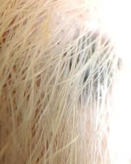Tamandua hairs