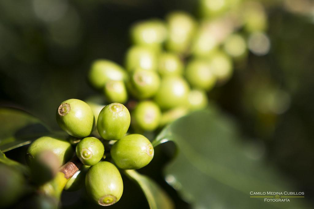 planta de café quindío colombia camilo medina cubillos flickr