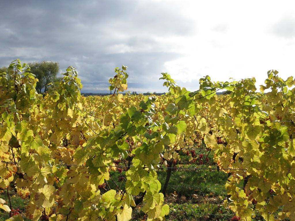 La Route des Vins - Alsacen viinireitti