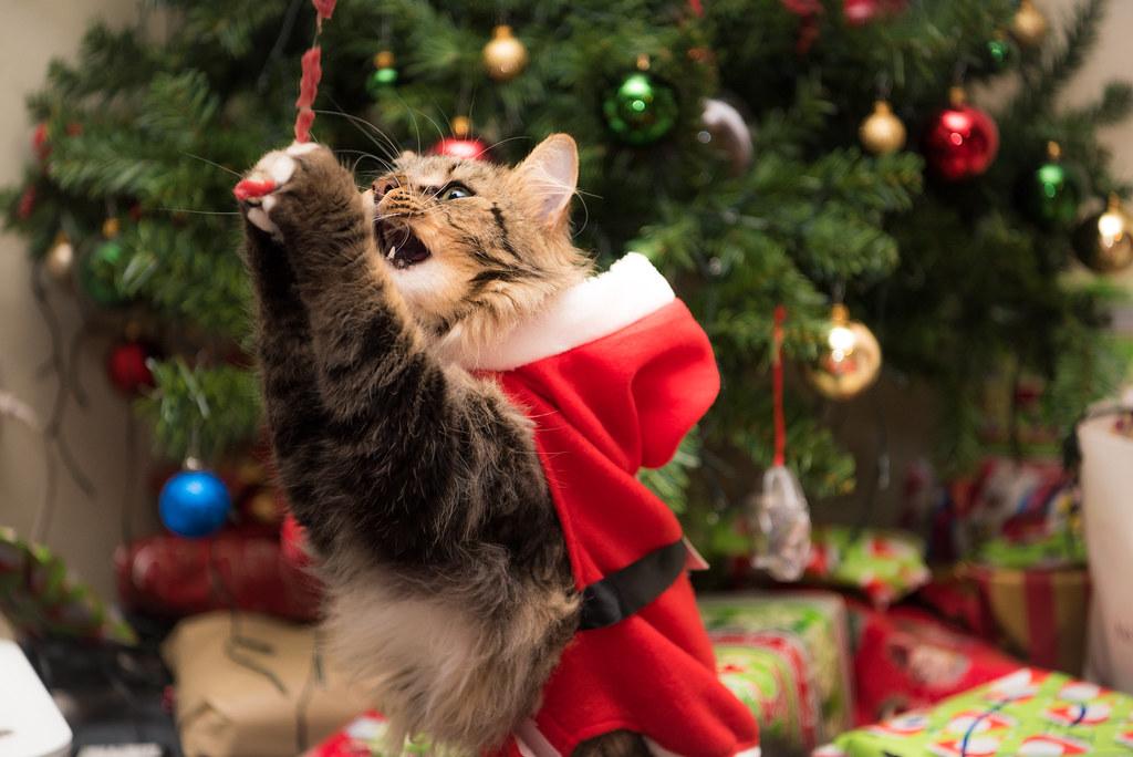 kalani the christmas cat by casey morton photos - Merry Christmas Cat